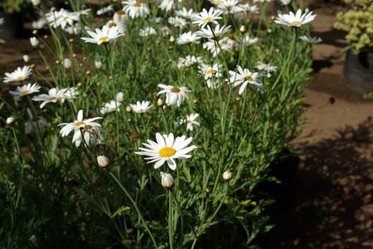 Paqueret blanco – Planta ornamental