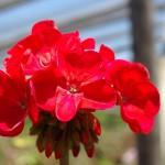 Hiedra cardenal o geranio - Planta ornamental