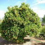 Naranjo – Árbol frutal