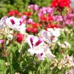 Cardenal - Planta ornamental