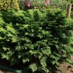 Conífera arbusto