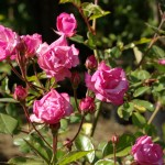 Rosa rosada - Arbusto ornamental
