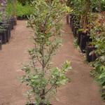 Alcornoque - Quercus suber L.