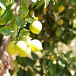 Arbol Frutal - Limonero