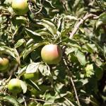 Arbol Frutal Manzano